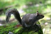 squirrel on moss covered rock ** Note: Slight blurriness, best at smaller sizes poster