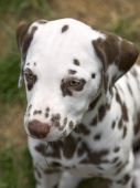 headshot of a liver colored dalmatian puppy poster