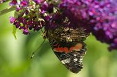 Red admiral butterfly feeding on Butterflybush flowers in summer poster