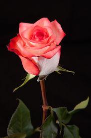 Pink Rose Solitarie