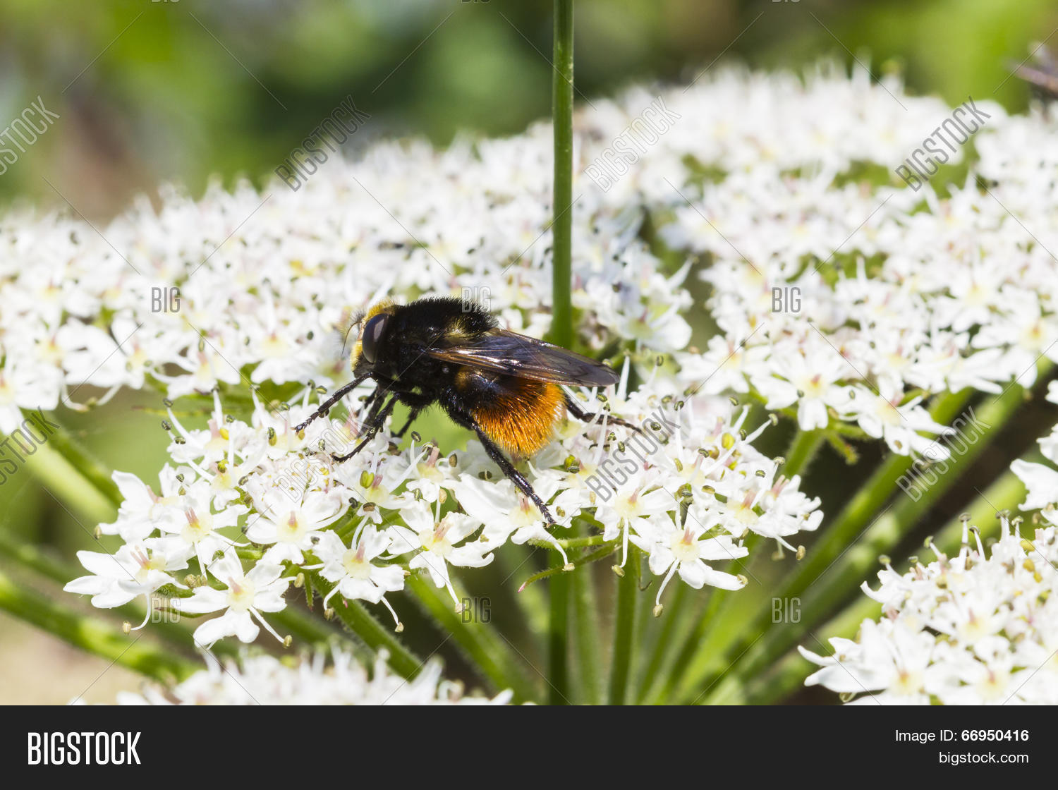 a study of the possible impact of the western bumble bee if introduced in the wild Patterns of widespread decline in north  patterns of widespread decline in north american bumble bees  possible causal factors of bumble bee decline is.