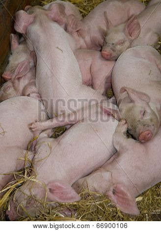 Litter Of Piglets