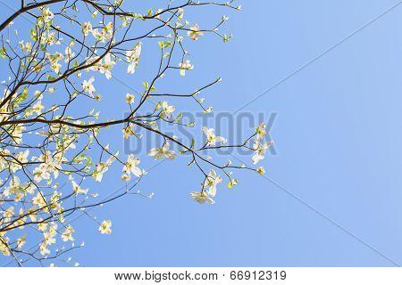 White flowering dogwood tree (Cornus florida) in bloom in sunlight