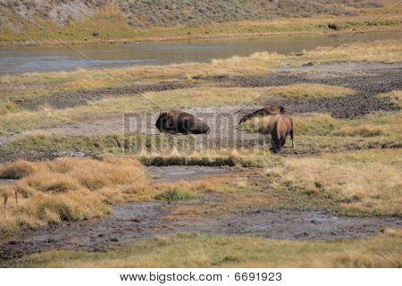 Yellowstone National Park - Grazing Buffalo