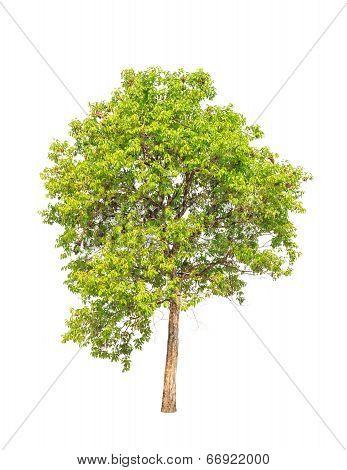 Jambul (syzygium Cumini) Also Known As Jambolan Plum, Java Plum, Black Plum, Tropical Tree In The No