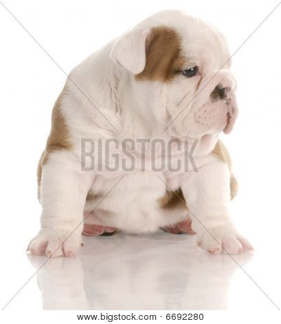 four week old english bulldog puppy sitting with reflection on white background poster