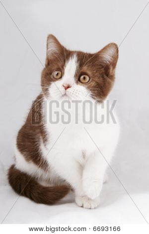 Bicolor  beauty british kitten on gray background poster