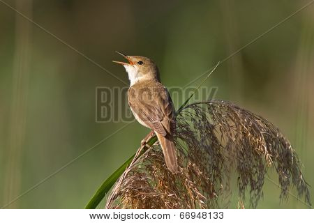 Reed Warbler On The Reed