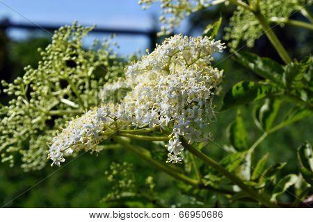 Elderberry Flowers