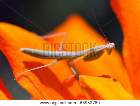 Praying, Mantis, Insect, Flower.