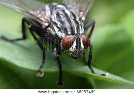 Eyes of an insect. Portrait  Gadfly. Hybomitra horse fly head closeup