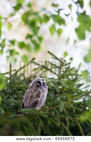 Sleepy Long-eared Owl Chick