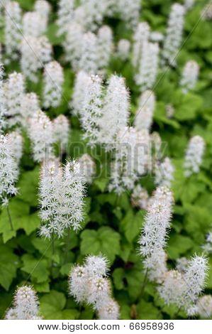 Tiarella Flower In Garden
