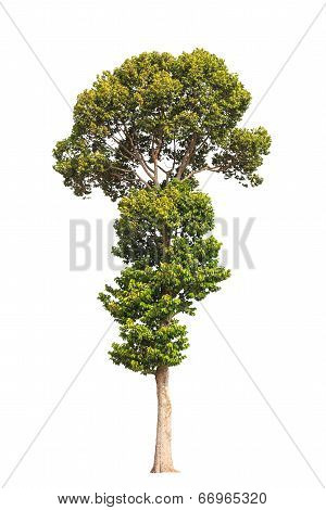 Dipterocarpus alatus tropical tree in the northeast of Thailand isolated on white background poster