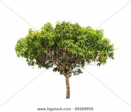 Mango Tree (mangifera Indica), Tropical Tree In The Northeast Of Thailand Isolated On White Backgrou