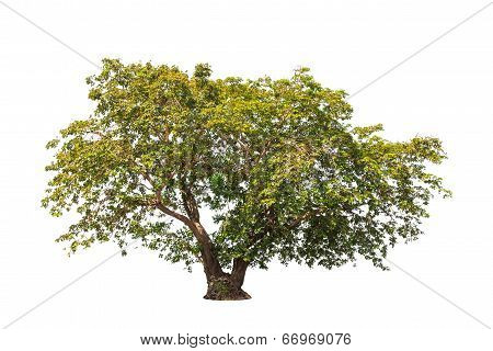 Sindora siamensis tropical tree in the northeast of Thailand isolated on white background poster