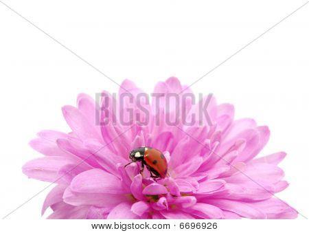 Ladybug isolated on the white - macro poster