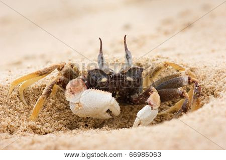 Ghost crab digging himself in on sandy beach poster