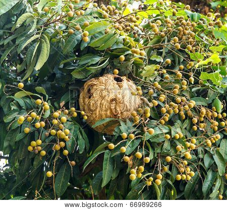 Paper Wasp's Nest