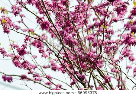 Cercis Chinensis