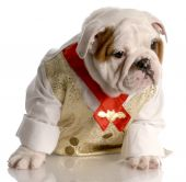 english bulldog puppy dressed up wearing shirt and tie poster