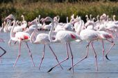Side profile of many flamingo wading in foreground with group of flamingos in background. poster
