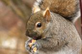 Gray Squirrel Feeding On Peanut Close-up In Winter poster