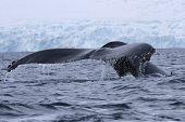 humpback whale diving in the ocean water off the Antarctic Peninsula poster