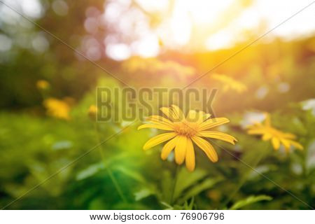 Beautiful yellow daisy blossom in the garden in early sunrise