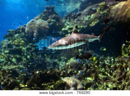 Reefshark