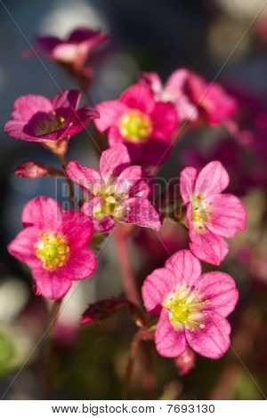 Saxifraga Rosacea