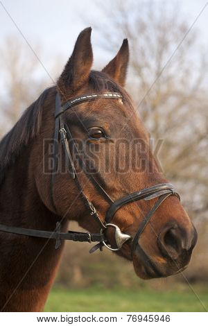 Portrait of a Furioso North Star breed bay horse