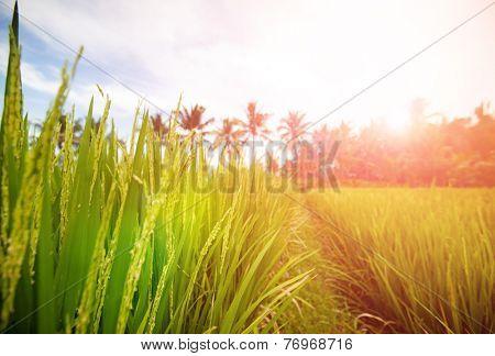 Beautiful lush paddy field of Bali early in the morning