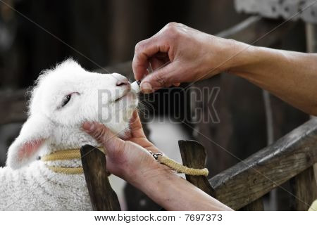 Feed  Baby Sheep With Milk