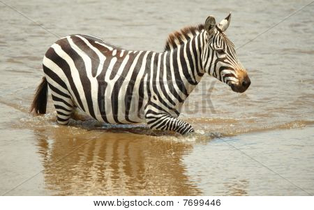 Single zebra (African Equids) crossing the river in nature reserve in South Africa poster