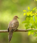 Mourning dove Zenaida macroura perched on a tree branch poster