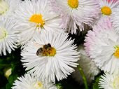 bee collecting pollen on the white daisy poster