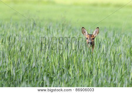Roe-deer in a clearing