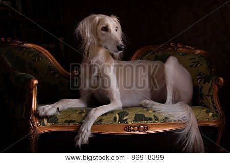 Persian Greyhound Saluki In Royal Interior