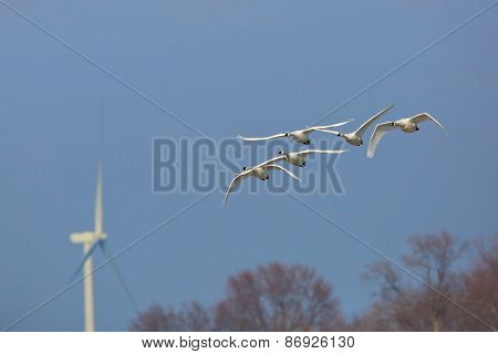 Group Of Tundra Swans Migrating Past A Wind Turbine