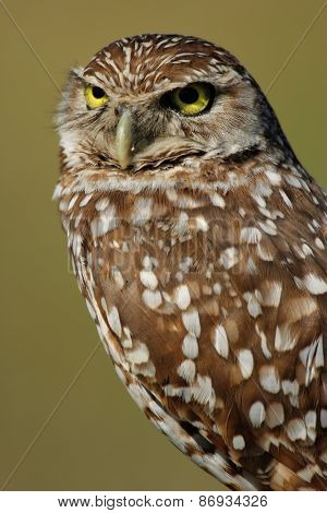 Portrait Of Burrowing Owl