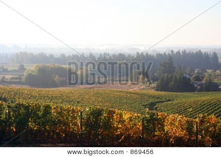 Foggy Vineyard in Autumn