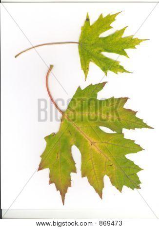 Maple Leaves over white