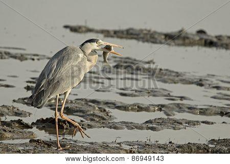 Grey Heron Holding Fish