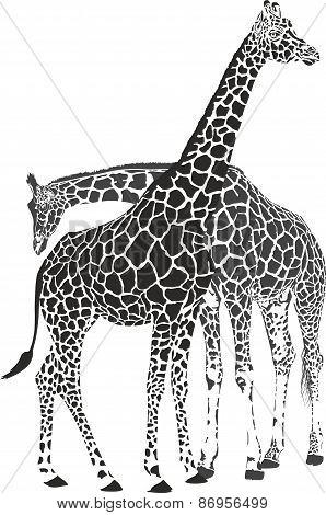 Giraffes.eps
