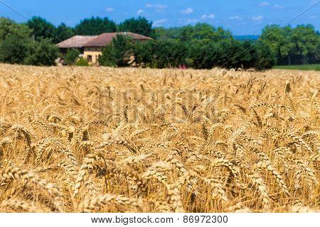 Grain Field In Figarol In The South Of France