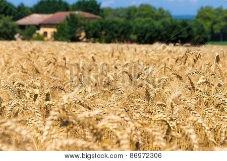Rye Field In Figarol In The South Of France