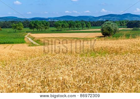 Field Of Rye In Figarol In The South Of France