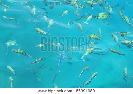 Fish(indo-pacific Sergeant)  In A Tropical Sea At Phi Phi Island In Krabi
