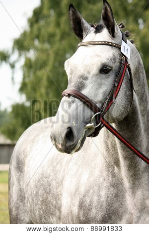 Gray Sport Horse Portrait at Show Arena